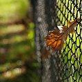 #ogrodzenie #siatka #liść #jesień