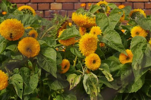 #ogród #kwiaty #słoneczniki