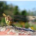 #ważki #owady
