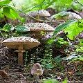 Śmiercionośna rodzinka... #grzyb #muchomor #sromotnik #natura #las #flora #arietiss
