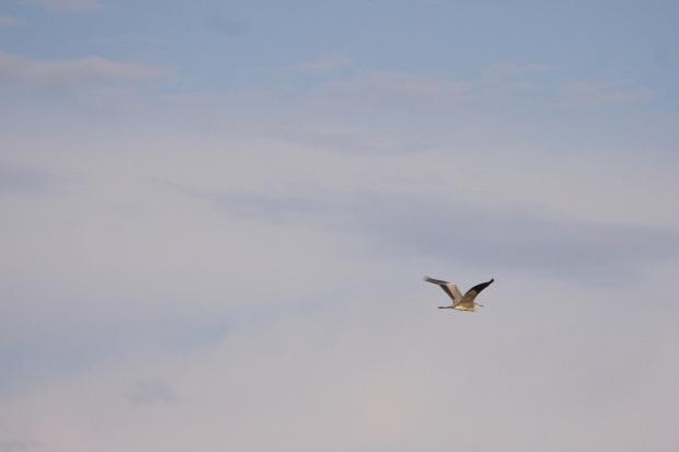 #ptaki #czapla