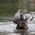 gołąbek w kąpieli ... #gołębie #ptaki #natura #lato