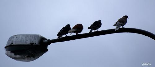 w czasie deszcu gołębie też się nudzą .. :)) #ptaki #gołębie #lato #natura