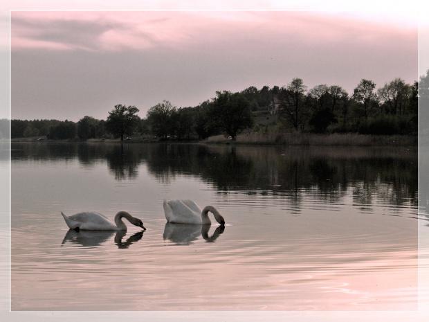 w jednej tonacji (starocie- szkoda gadać, tzn. pisać) #łabędzie #ptaki #zalew #woda #niebo