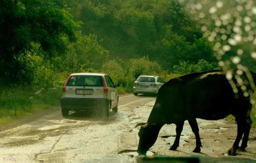 Droga krajowa w Bułgarii :) Krówka wyszła sobie aby się napić z dziury w asfalcie :) #Bułgaria #droga #ulica #podróż