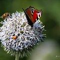 motylki i inne fruwające ... #owady #motyle #pszczoły #biedronki #mrówki #przyroda