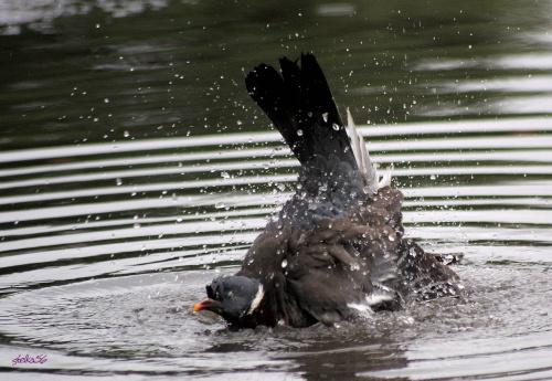 gołąbek w kąpieli c.d. ... :)) #gołębie #ptaki #lato #natura