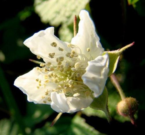 Słoneczny kwiatuszek dla Was, Kwiat ostrężnicy .