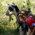 w cieniu ... :) #dzieci #Dominika #zwierzęta #kozy #wieś #Chomiąża