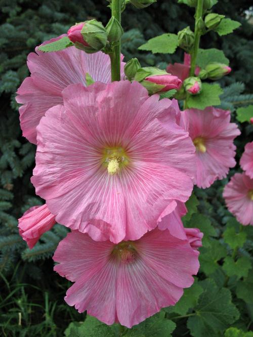 #malwa #kwiaty
