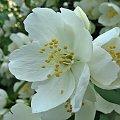 #jaśmin #krzew #roślina