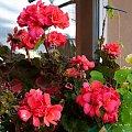 na balkonie jeszcze sobie kwitną ... #kwiaty #pelargonie #lobelia #balkon #jesień