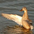 Ptaki #ptak #łabądź #kaczka #ptaki #rodzina