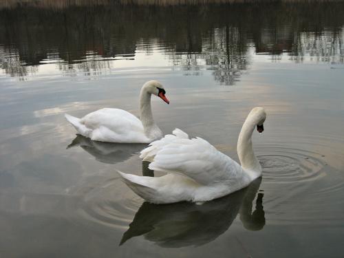 #zalew #łabędzie #ptaki
