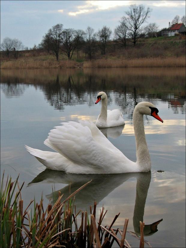 #łabędzie #ptaki #zalew