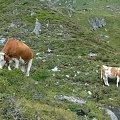 Pasące się na hali krowy. #hala #krowy
