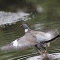 ... po kąpieli ... #ptaki #gołębie