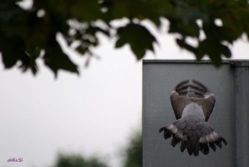 ... lecę wysuszyć się ... #ptaki #gołębie