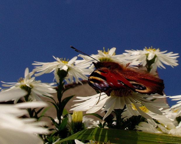 z perspektywy motyla.. #motyl #kwiaty #marcinki #niebo #perspektywa