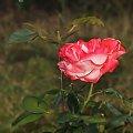 ostatnia roza .. #rose #kwiaty #ogrody