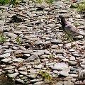 szufladowe różności ... #ptaki #gołębie #natura