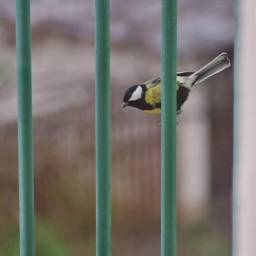 #ptaki #sikorka