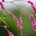 ... #kwiaty #rdest #PoDeszczu #ogród #makro