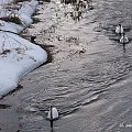 zima ... #zima #ptaki #łabędzie #rzeka #Kłodnica