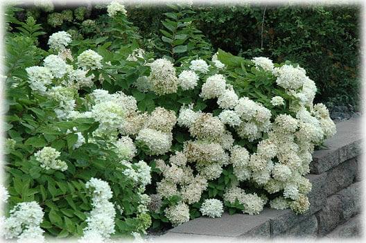 hortensja bukietowa grandiflora hydrangea paniculata c2. Black Bedroom Furniture Sets. Home Design Ideas