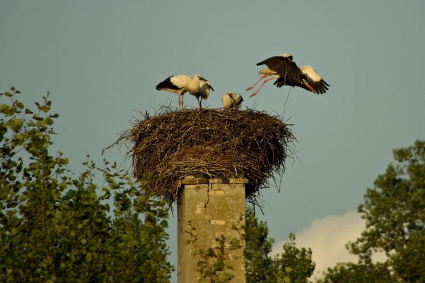 to jeszcze z lipca; teraz najczęściej gniazdo jest puste- młode bociany z rodzicami udają się na wyżerkę :) #bociany #ptaki #BocianieGniazdo