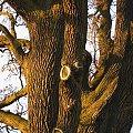 Dąb Gajusz, Lubcza #dąb #gajusz #oak #gajus #lubcza #xnifar #rafinski