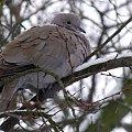 zmarznięta ptaszyna ... #ptaki #sierpówki #gołębie #zima #park