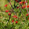 kochani pięknego weekendu Wam życzę ... :))) #jesień #DzikaRóża #WPolu #owoce