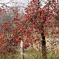 dla ptaszków ... #jesień #jabłoń #jabłka #ogród #sad #owoce
