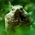 pisklę kosa z mojego żywopłotu #ptaki #kos #pisklę