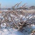 zimowe trawy ... #trawy #zima #szadź