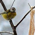 zimowe ptaszki ... #ptaki #zima #sikorki #modraszki #balkon