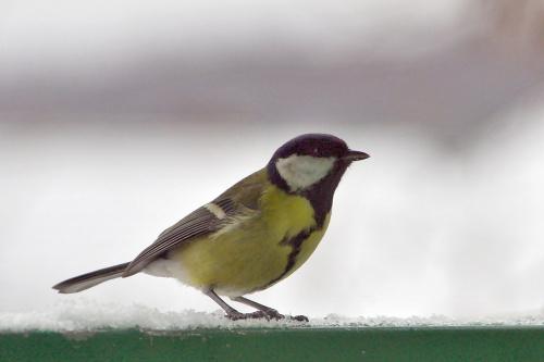 #ptaki #sikorka #zima