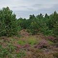 wrzos- wrzesień... jesień? #las #wrzos #drzewa #niebo