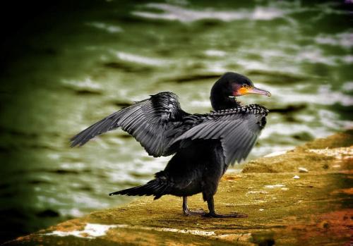kormoran