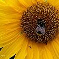 z ogródka ... #ogród #kwiaty #owady #makro #słonecznik #mrówki #pszczoły