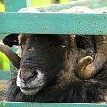 tam są owce, a ja tutaj samotny #farma #agroturystyka #Smolec #kozy #owce