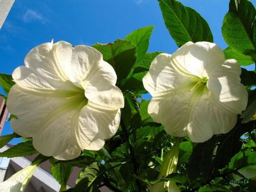 dla OLI - OLENKI04 - urodzinowe: 100 LAT !!! **** (ulub. olenka04) **** #kwiaty #datura #życzenia