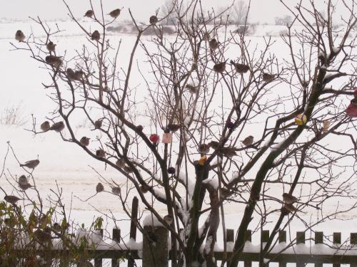 Moja ptaszarnia..ulubione miejsce wróbli,mazurków..:) Zawieszam tam jabłka,słoninki, słoneczniki ,kłosy zbóż..