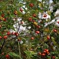 jesiennie ... :) #jesień #DzikaRóża #owoce #WPolu