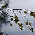 #brzoza #liście #gałązka #drzewo