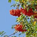 #jesień #jarzębina